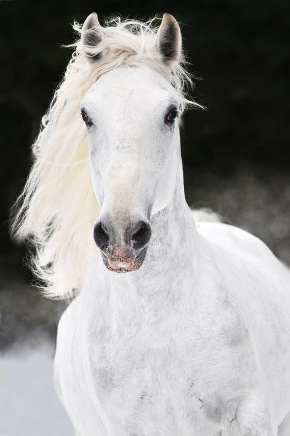White Lipizzan horse runs gallop in winter stock photography