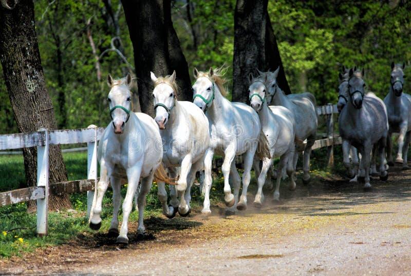 White Lipizzan Horses stock photo