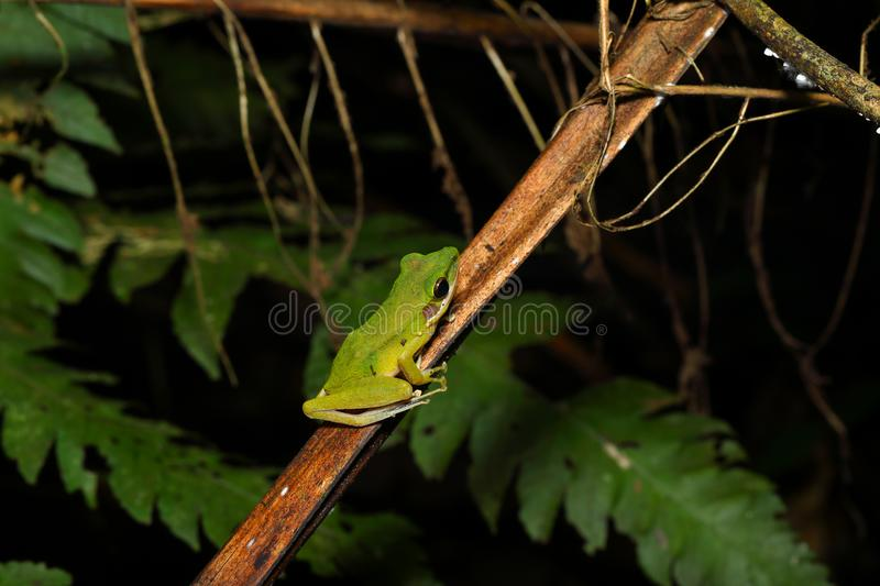 Beautiful White-lipped frog Chalcorana labialis isolated. The white-lipped frog has green to pale yellow skin and creamy white upper lip. It`s scientific name is royalty free stock photography