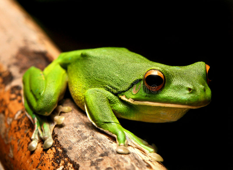 Download White Lipped Green Frog stock image. Image of frog, amphibian - 6270011