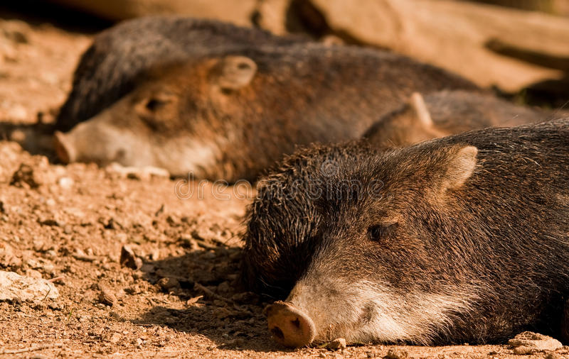 Download White-lipped Peccary stock image. Image of satisfied - 20206909