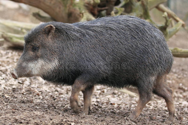 Download White-lipped peccary stock image. Image of animal, white - 29137943