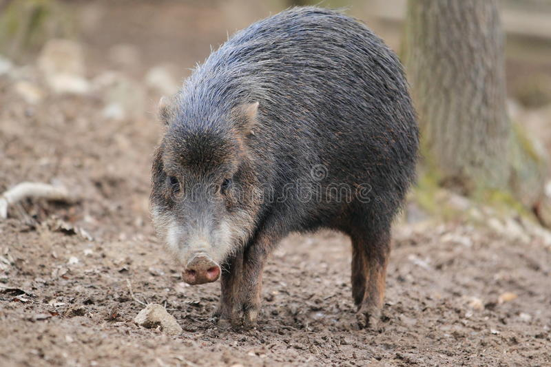 White-lipped Peccary Stock Images