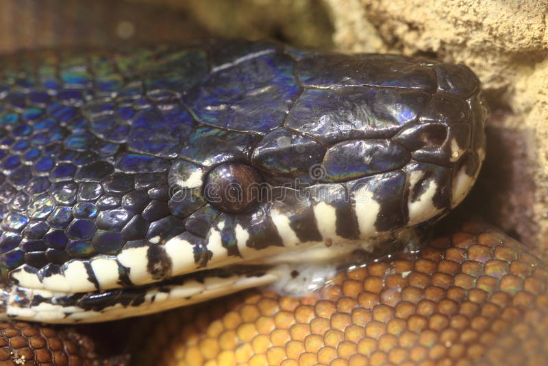 Download White-lipped python stock image. Image of animal, nature - 28732475