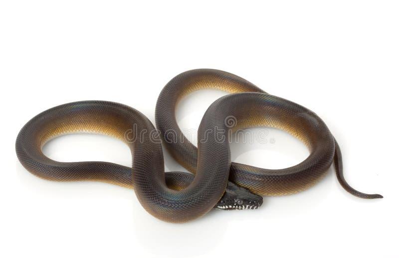 White-lipped Python Royalty Free Stock Images