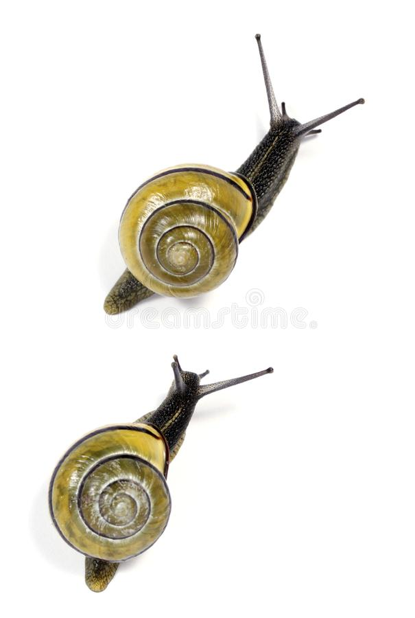 White-lipped  snails