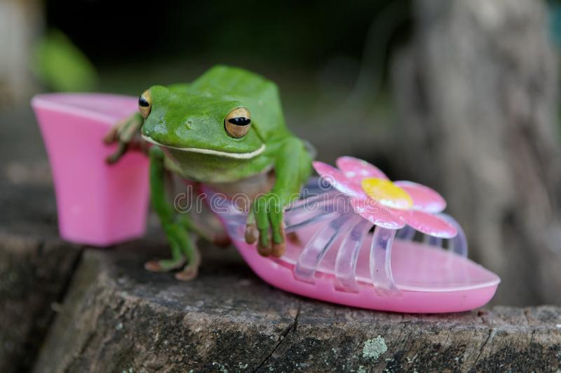 White-lipped Tree Frog stock photo