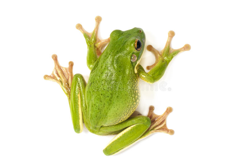 Download White Lipped Tree Frog Royalty Free Stock Image - Image: 27164886
