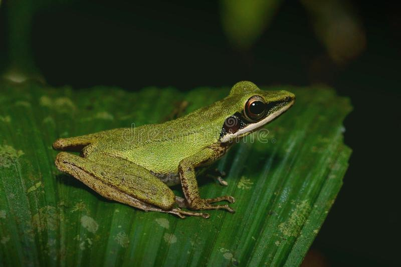 Tree frog on a leaf. A white lipped tree frog in the rainforest understory stock photos