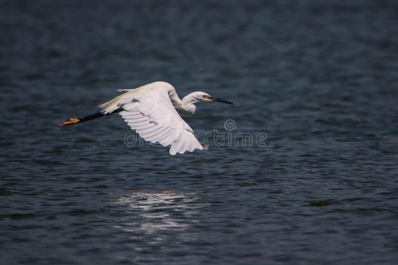 White little egret flying over blue lake stock photo
