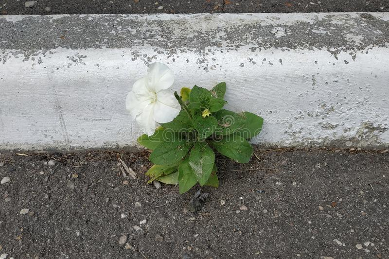 White little flower growing through concrete floor. White little flower growing through concrete floor royalty free stock photos