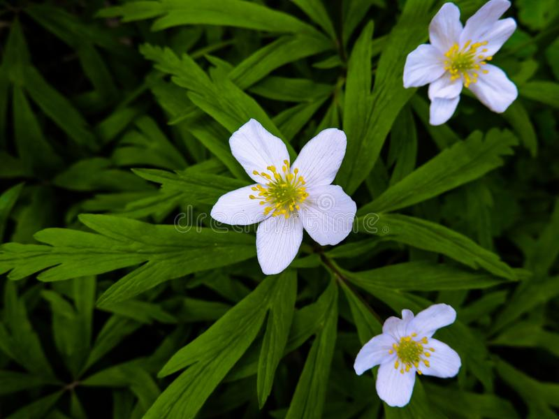 White little flowers  on a dark background with green leaves.Little white Flower. stock photo