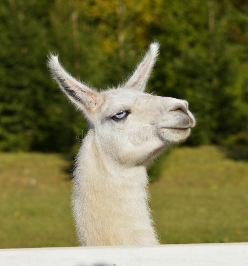White llama. With blue eyes looking royalty free stock photography