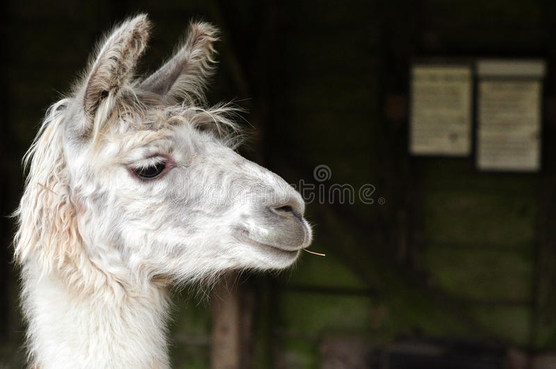 White llama chewing a stick royalty free stock photos