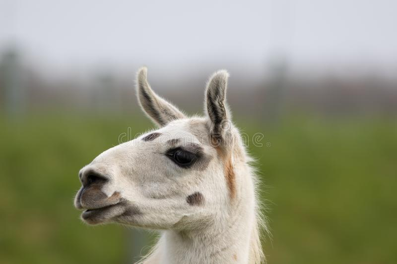 White llama face close up. Funny looking animal image. White llama face close up. Funny cute looking animal image. Blurred background with copy space stock images