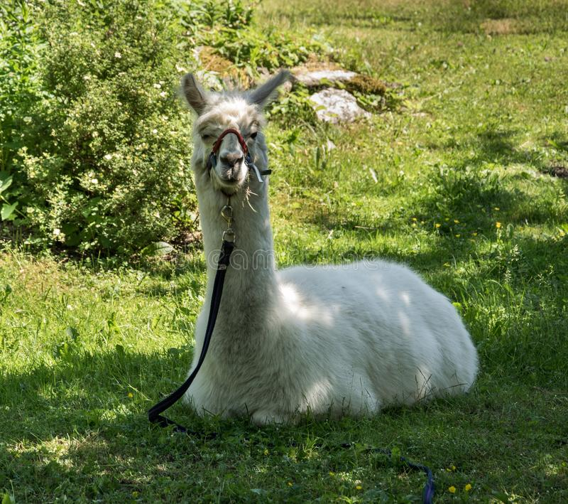 A white llama on a leash sits on the grass in the garden royalty free stock images