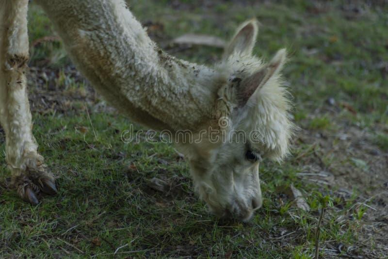 White llama in park of castle in west Bohemia in summer morning. White llama in park of castle in west Bohemia in summer sunny stock photography