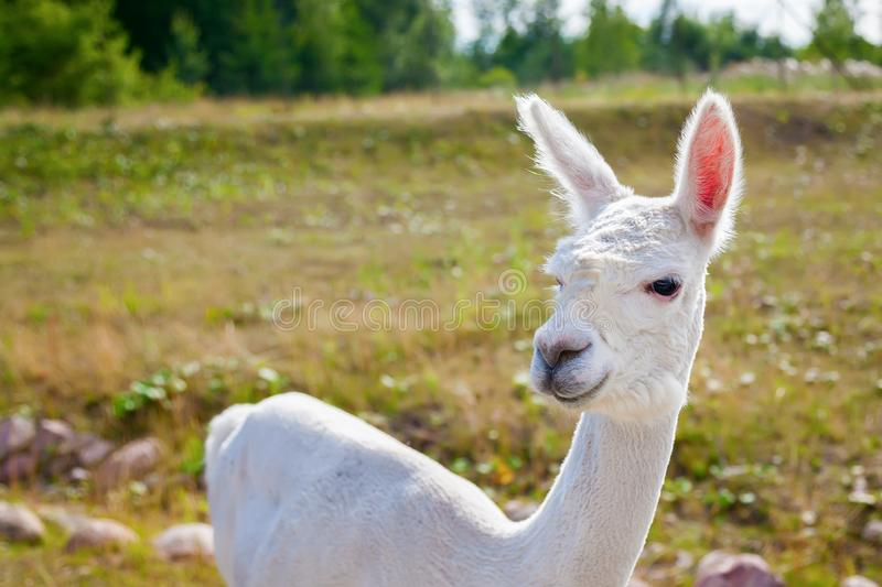 White llama royalty free stock photo