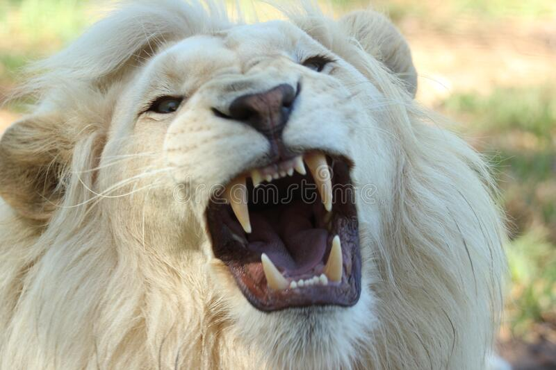 White Long Coat Lion royalty free stock images