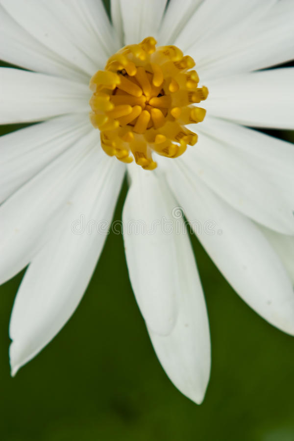 White lotus stock photography