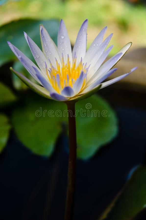 Download White lotus stock photo. Image of blooming, plant, tropical - 31242054