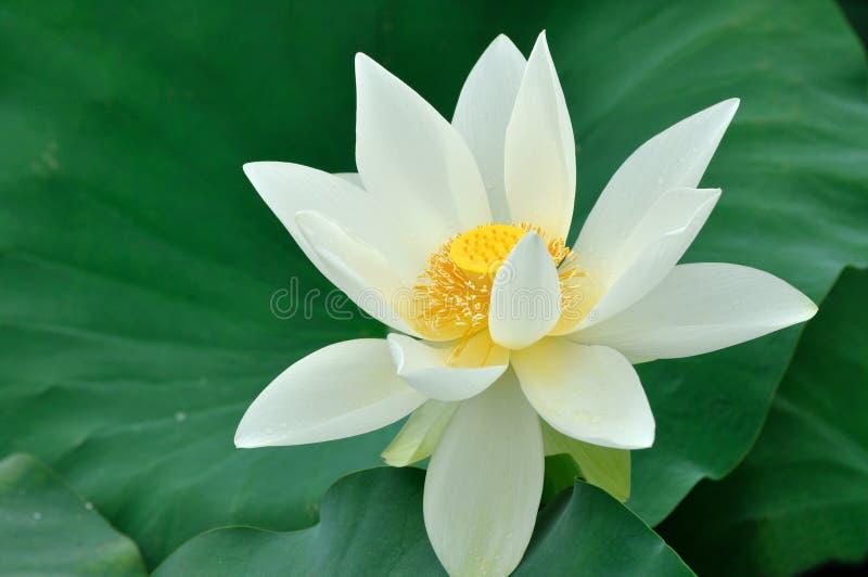 Download White lotus flower stock image. Image of green, lotus - 14537549