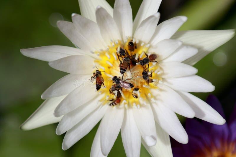 White Lotus flower and Bees, Lotus white nature, Lotus flower white royalty free stock images