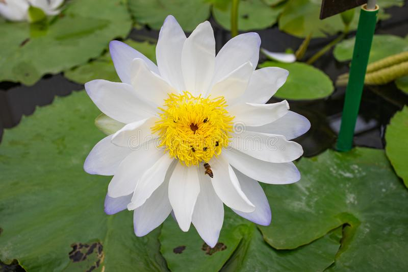 White lotus flower with bees stock photography