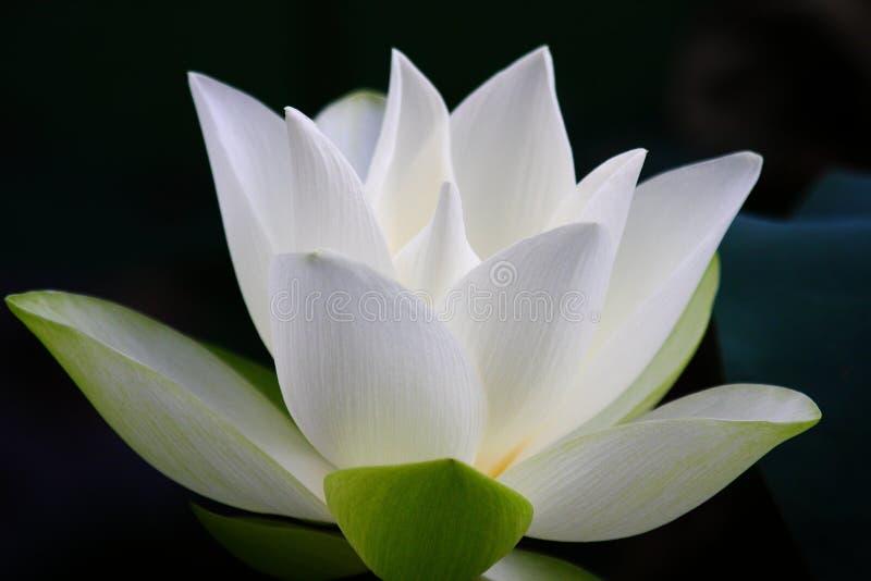 White Lotus Flower. The close up of white lotus flower in shenzhen honghu park, China stock photos