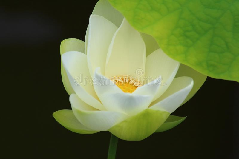 White Lotus Flower. The close up of white lotus flower in shenzhen honghu park, China stock image
