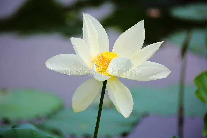 White Lotus Flower. The close up of white lotus flower in shenzhen honghu park, China stock photo