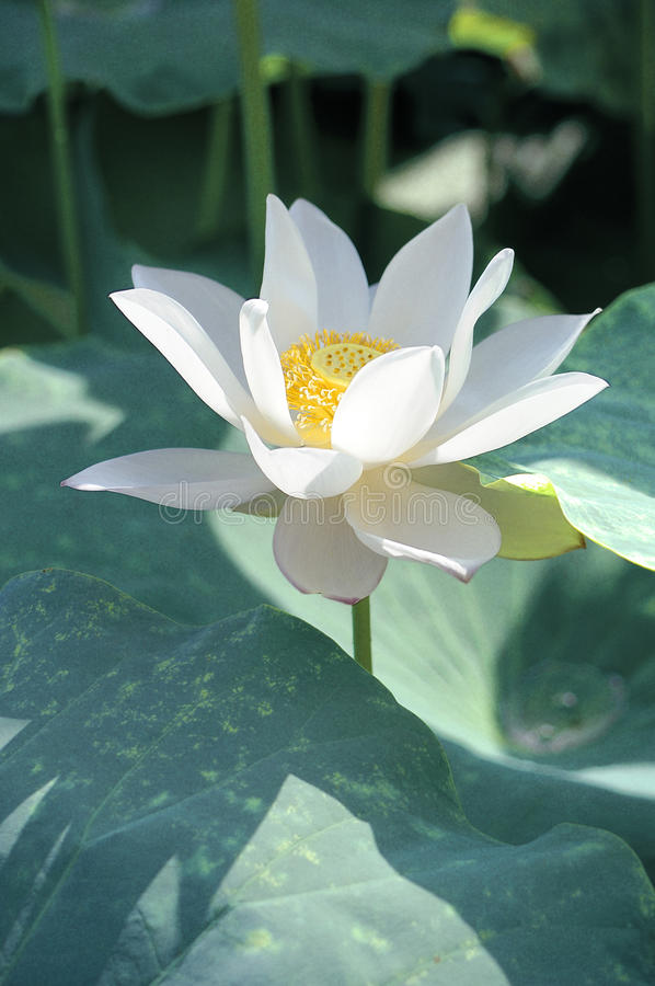 White lotus flower stock images