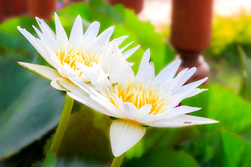 White Lotus flower. Close up two white Lotus is Nelumbo and annual crops stock photo
