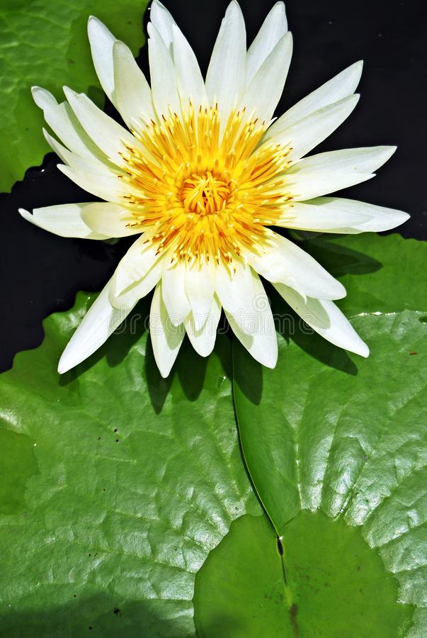 White lotus flower: this color lotus is known to symbolize Bodhi and represents a state of mental purity. royalty free stock photography