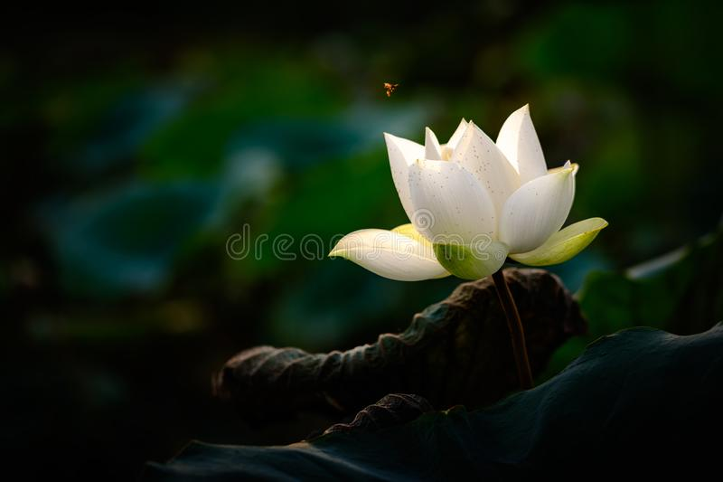 White Lotus Flower and Flying Bee on a Dark Background royalty free stock photos