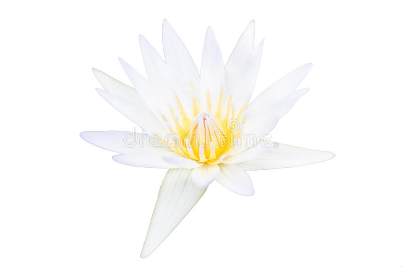White lotus flower isolated royalty free stock photography
