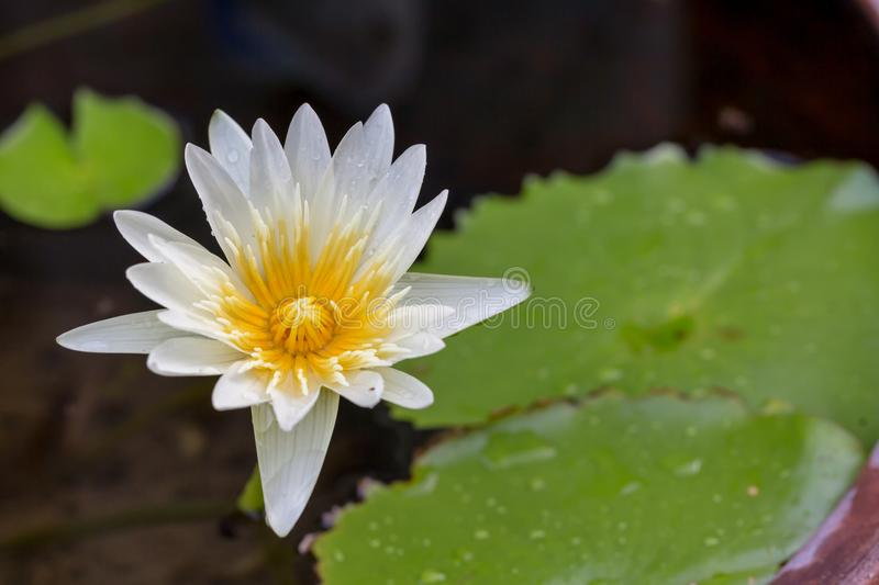 White lotus flower opened on a pond with yellow center and water stock photos