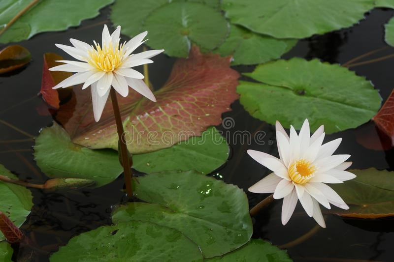 The white lotus flower and pink lotus flower are meaning purity and download the white lotus flower and pink lotus flower are meaning purity and devotion stock mightylinksfo Image collections