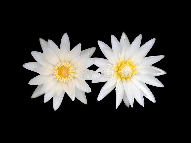 White lotus flower. Two white lotus flower isolate on a black background stock photography