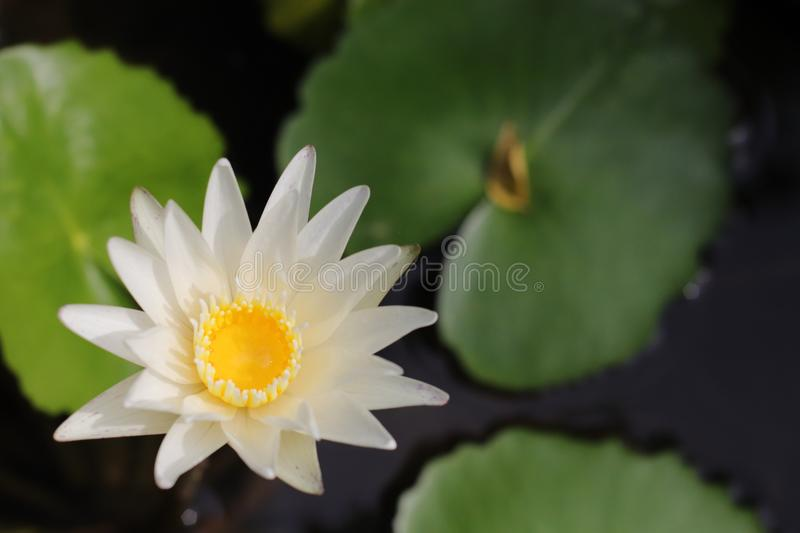 White Lotus Flower in water pot. Beatiful White Lotus Flower in water pot The color of the Lotus certainly affects its general meaning as well. The white lotus stock images