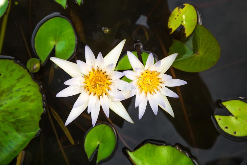White Lotus flower. On a background of leaves and water, closeup stock image
