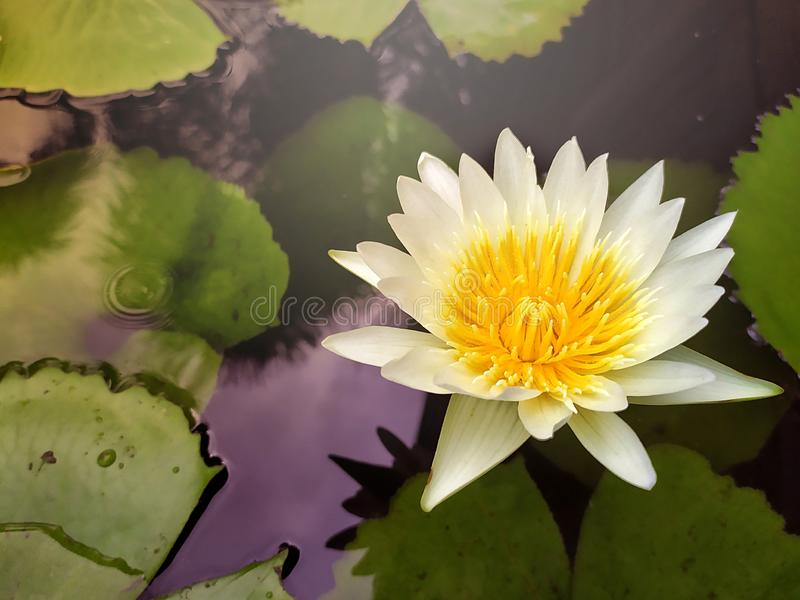 White lotus flower with yellow pollen royalty free stock photography