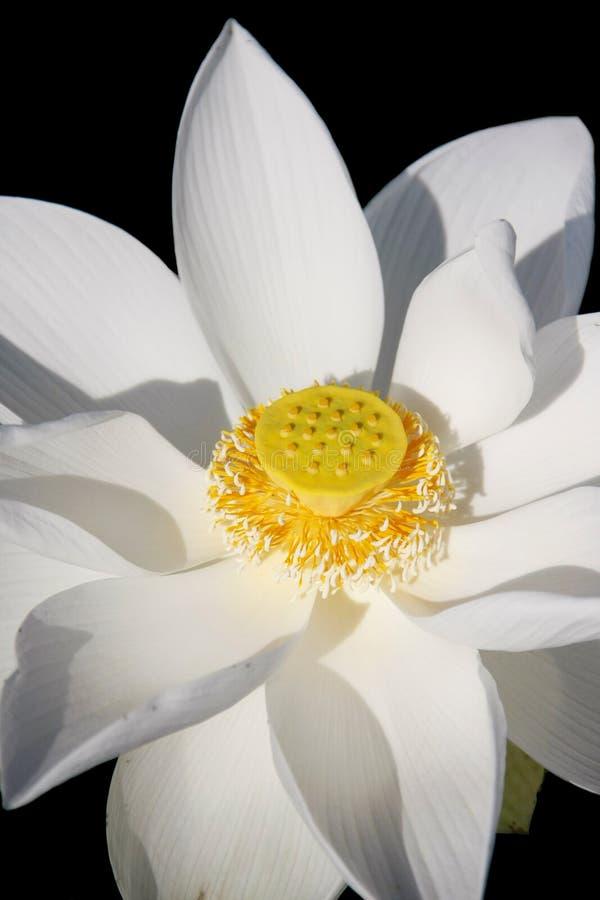 White Lotus Flower Royalty Free Stock Photography