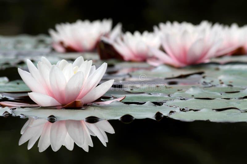 White lotus flowers royalty free stock photos