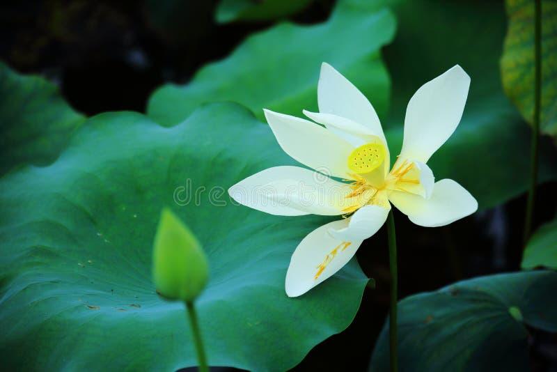 White Lotus Flowers. The close up of white lotus flowers in shenzhen honghu park, China stock photo