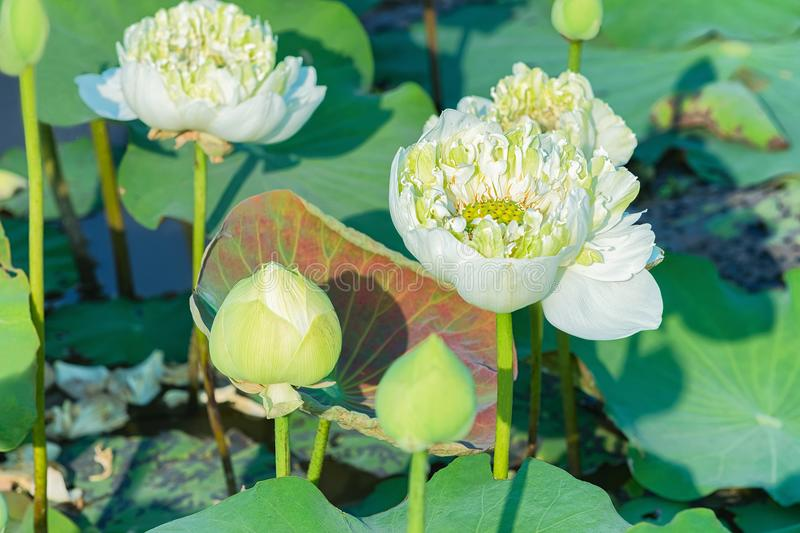 Lotus flowers field and farm at Siem Reap Cambodia. White Lotus flowers field and farm in Siem Reap, in Cambodia stock images