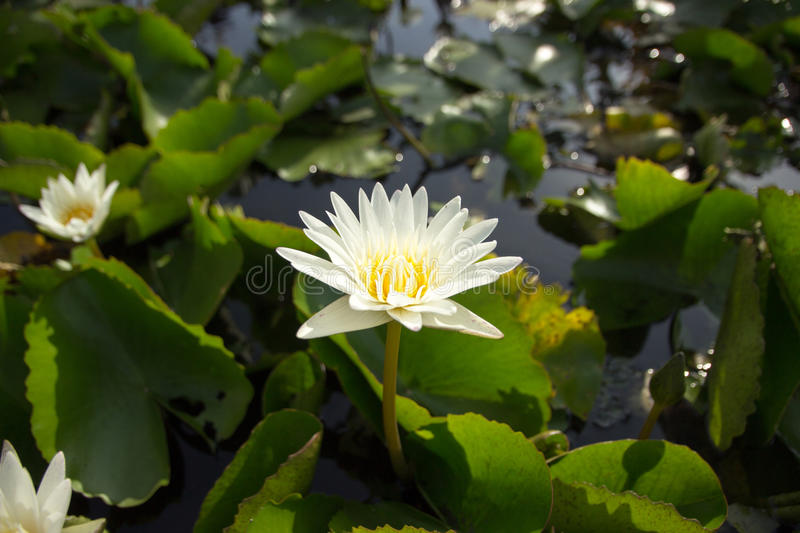 The white lotus means cleanliness in mind. The white lotus means cleanliness in mind royalty free stock photography