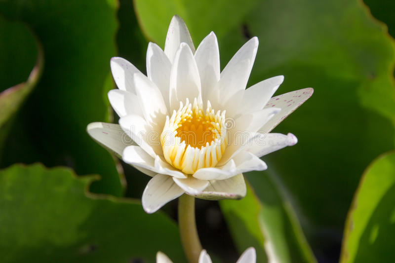 The white lotus means cleanliness in mind. The white lotus means cleanliness in mind royalty free stock image