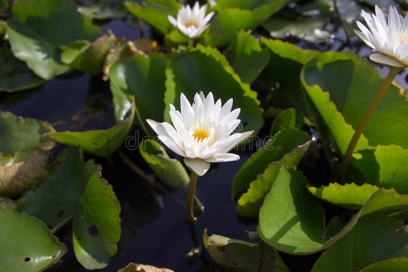 The white lotus means cleanliness in mind. The white lotus means cleanliness in mind royalty free stock photo