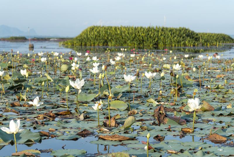 White lotus at Thale noi lake   Phatthalung Thailand. Where is the one motto of Phatthalung provice and is afavorite of the tourist stock image
